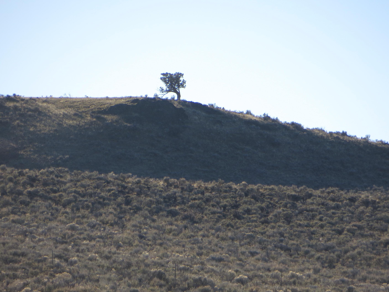 Lone juniper.